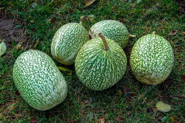 The green fruits of Cucurbita ficifolia lie on the grass in the garden. Exotic diet fruits. Green berry.