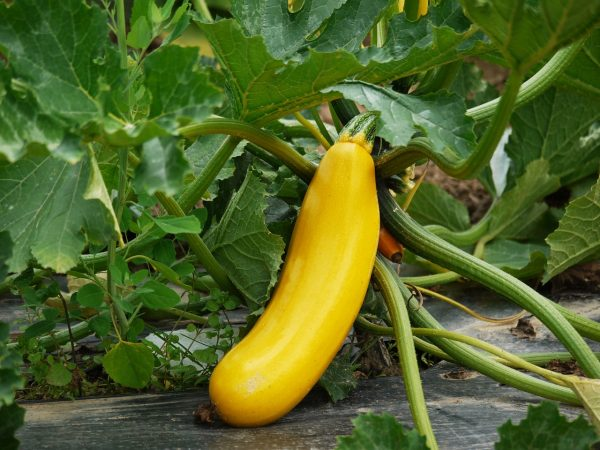 zucchini, vegetables, cultivation