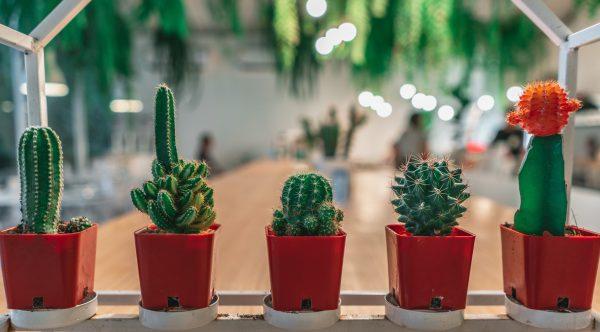 five cactus plant close-up photography