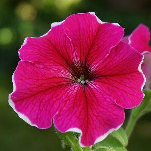Surfinia Ornamental Plant Cup  - Nowaja / Pixabay