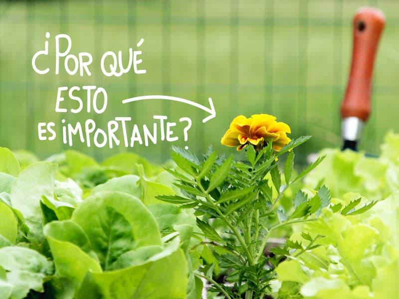 Asociación de cultivos y cómo usar plantas aromáticas para facilitar la producción de hortalizas en el huerto